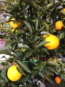 自家製の柚子を使用しています。